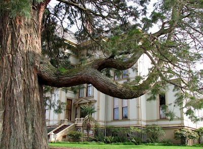 Giant old tree at the Flavel House, Astoria, Oregon