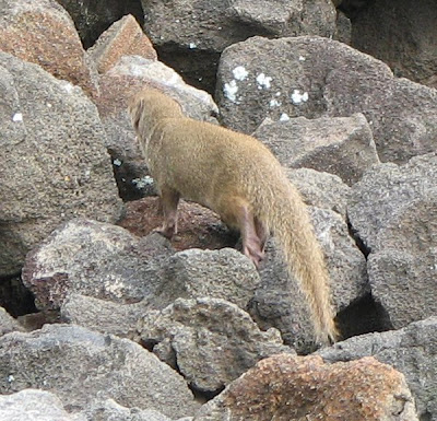 Indian Mongoose, Kona, Hawaii