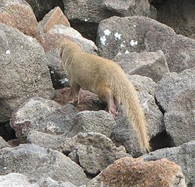 Indian Mongoose, Kona, Hawaii