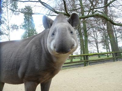 Lowland tapir at Cotswold Wildlife Park, 2008, by Sarah Cooper