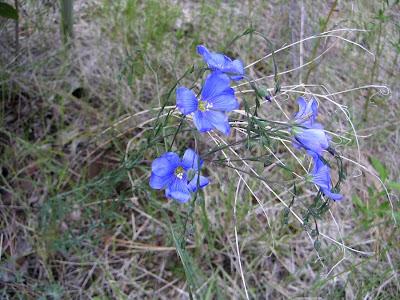 Blue Wildflowers at Oregon's High Desert Museum near Bend