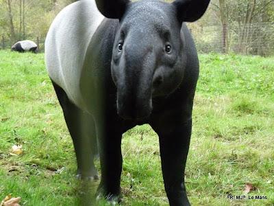 Asian Tapir, Le Mans, France