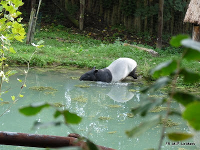 Asian Tapirs, Le Mans, France