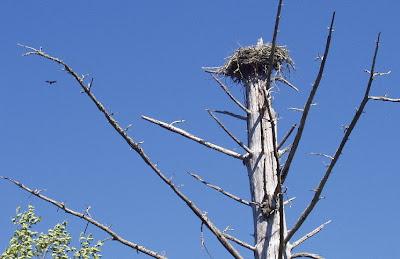 Osprey nest, Warrenton, Oregon