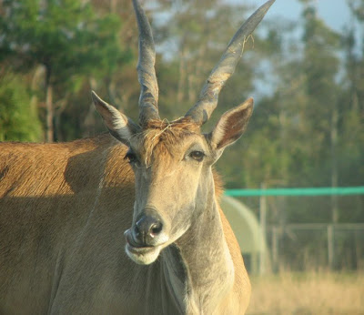 Antelope at Lion Country Safari, Florida