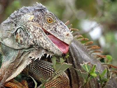 Green Iguana, Miami Seaquarium, Key Biscayne, Florida
