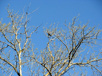 Crows in a tall tree