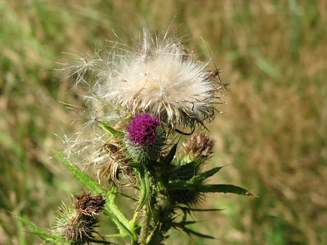 A Thistle at Cape Disappointment, Washington