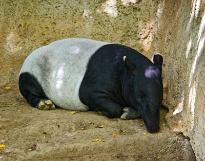 Sleeping Malayan tapir at the Singapore Zoo, by Annemarie Hasnain