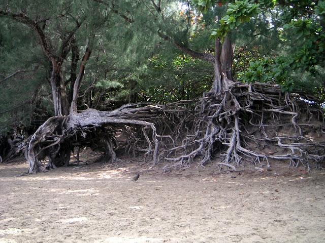 Tree Roots on Ke'e Beach, Na Pali Coast, Kaui, Hawaii