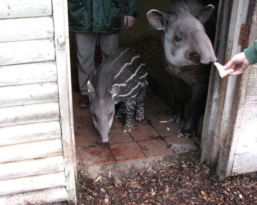 Meena tapir with baby Ronnie, Dudley Zoo