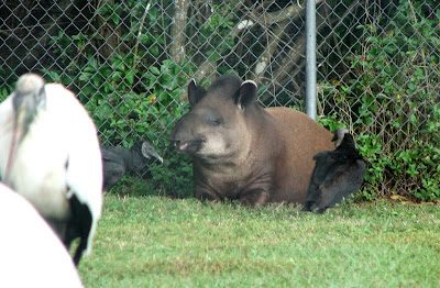 Lowland tapir at Lion Country Safari, Miami, Florida