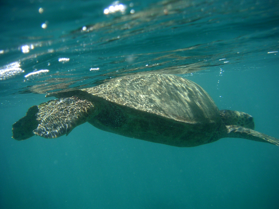 Sea Turtle, Hawaii