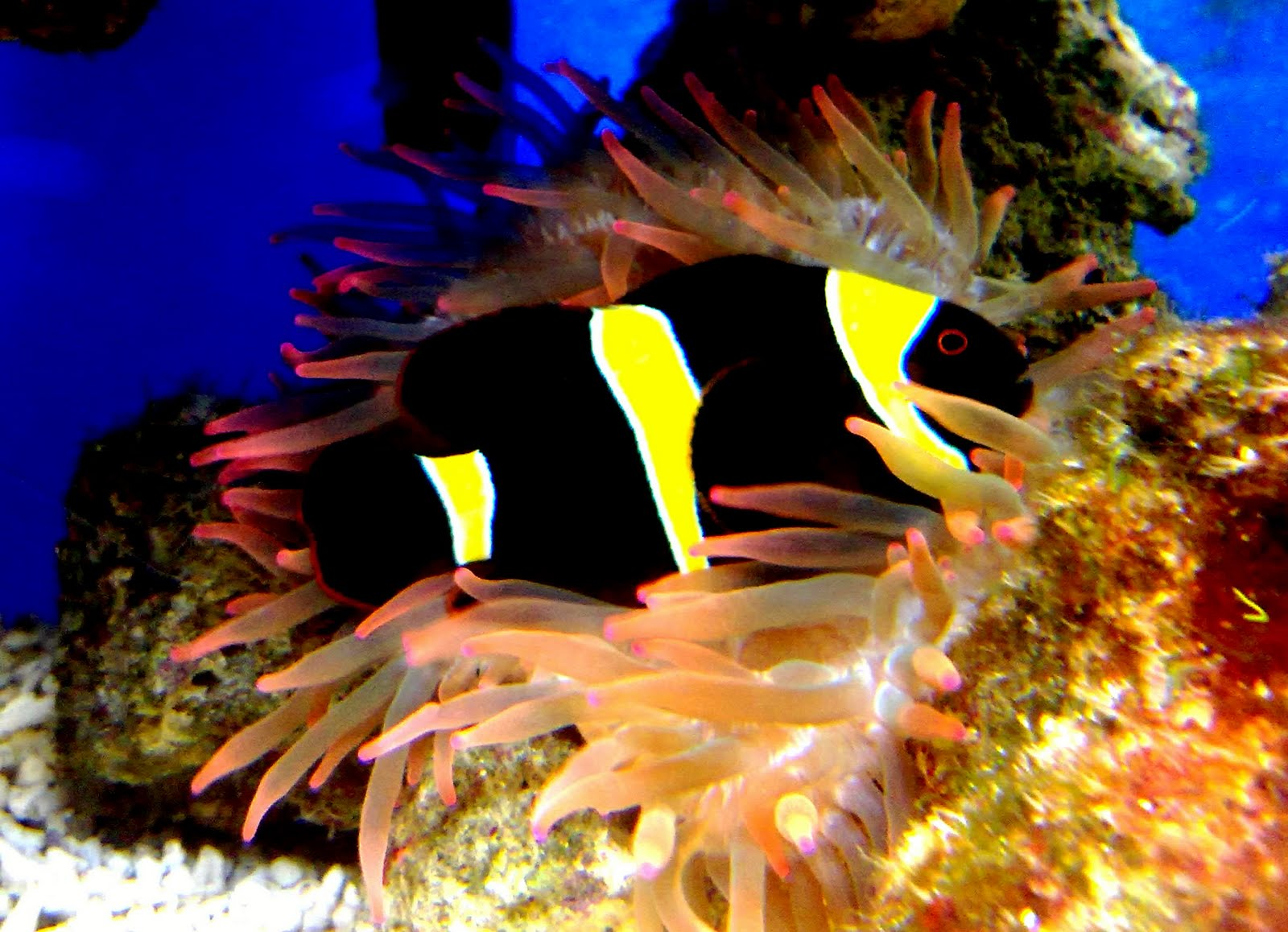 Yellow and black clownfish 3reef aquarium forums for Clown fish for sale