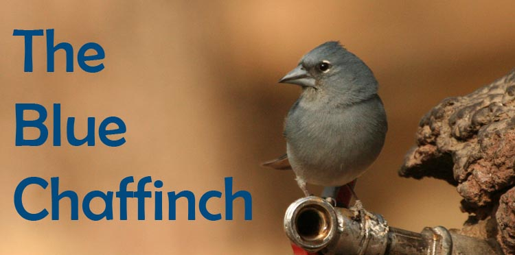 The Blue Chaffinch