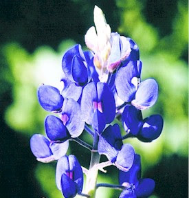 Bluebonnet flower delivery
