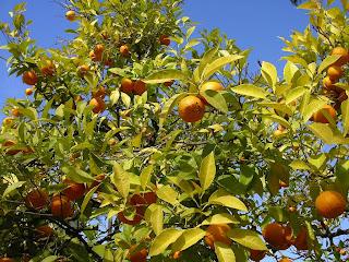 Portocale in pomi la Sevilla