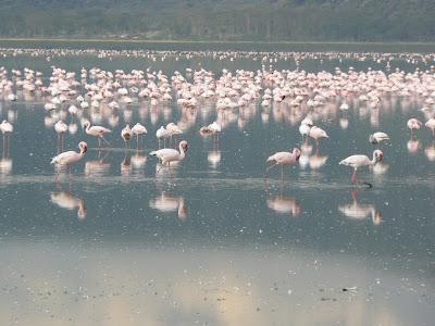 Imagini safari: flamingo pe lacul Nakuru Kenya