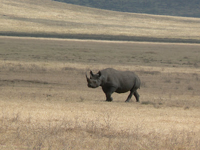 Imagini safari: rinocer in Ngorongoro
