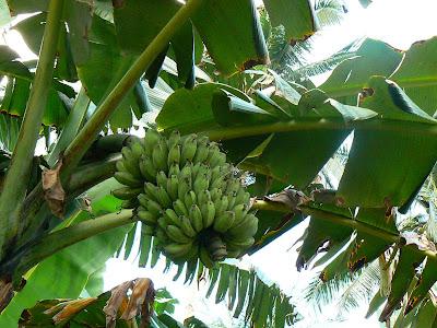Imagini Filipine: banane in Bohol
