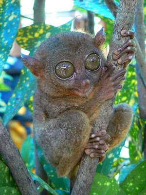 tarsier Filipine