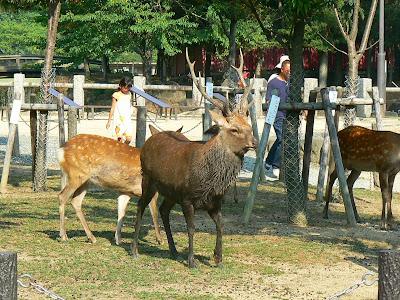 Obiective turistice Japonia: templul Todai-Ji, Nara, cerbul cel mare