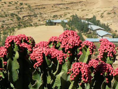 Imagini Etiopia: cactusi in floare
