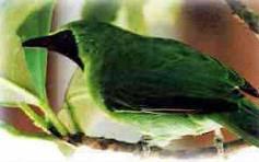makanan burung murai daun adlah sama dengan kutilang, m