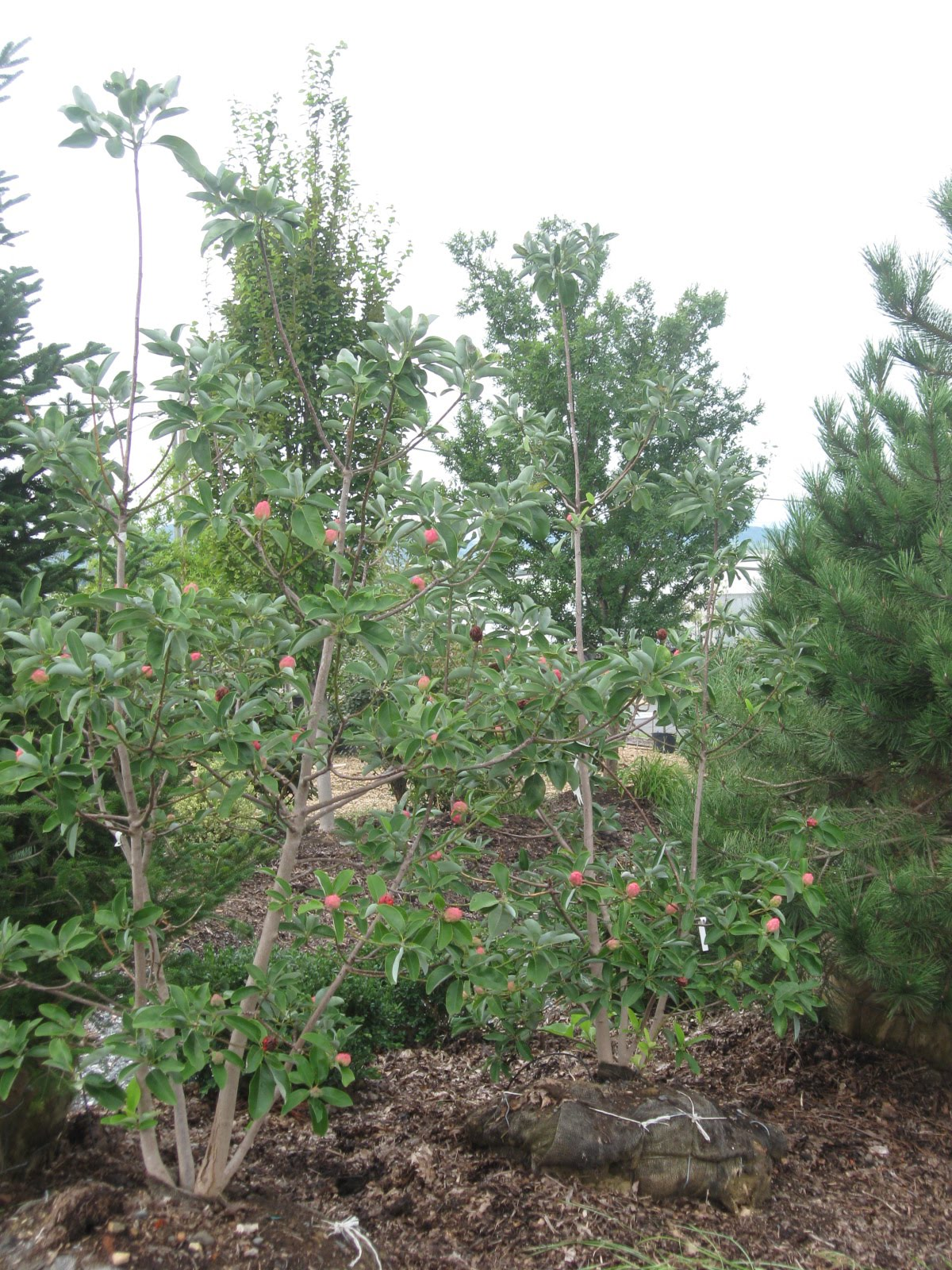 Mast landscapes inc fall is tree planting time - Planting fruit trees in autumn ...
