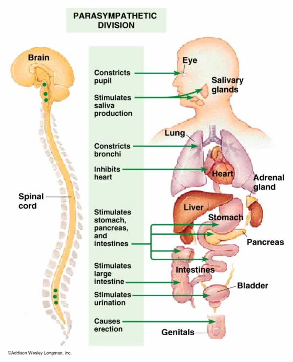 Function Of Nerves And Types Of Nervous System World Wide Things