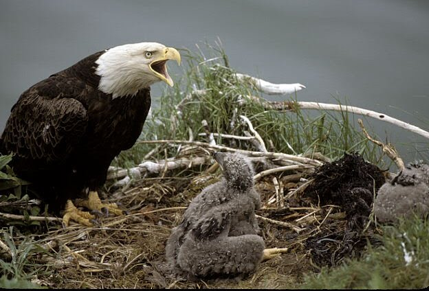 Black And White Eagle Head. Bald Eagle has lack body and