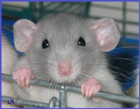 http://2.bp.blogspot.com/_DhyhUH0Sd3g/TIJF7JyVdQI/AAAAAAAAAGY/eZi5vpvDUhg/s1600/pet-rats-717618.jpg
