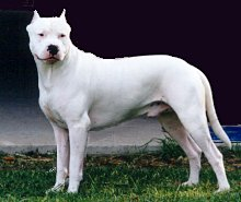 Dogo Argentino Dog Breed