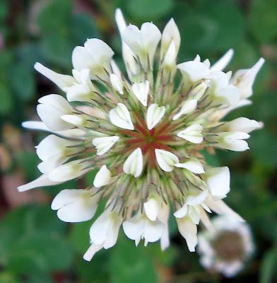 Fresh Flowers White Clover