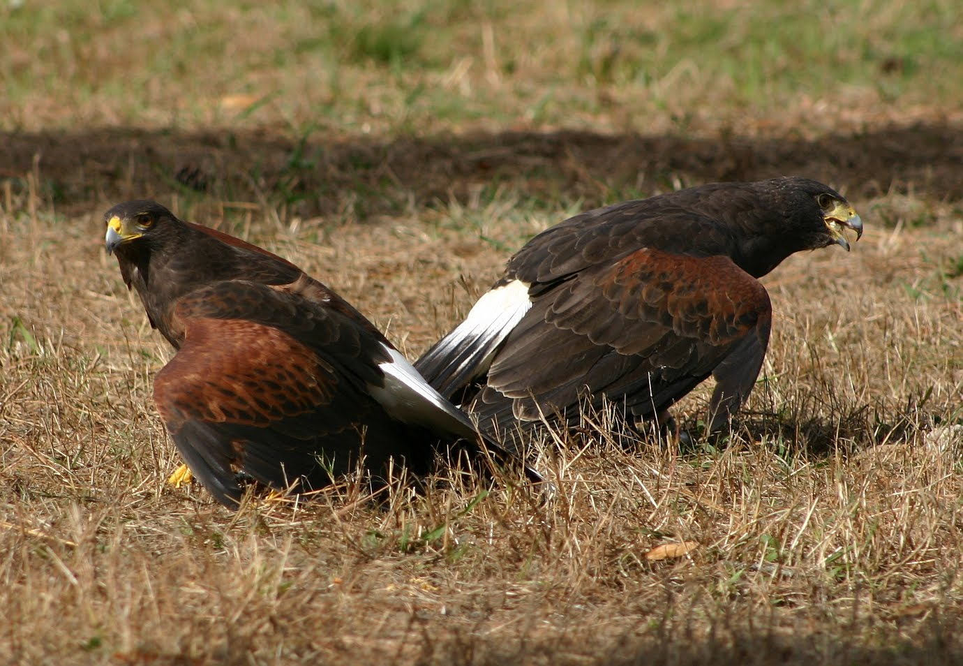 National Geographics: harris hawks african eagle