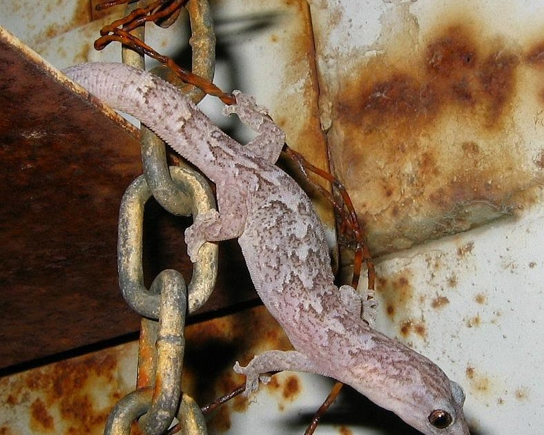Esperance Blog Two Esperance Geckos One Agile One Not