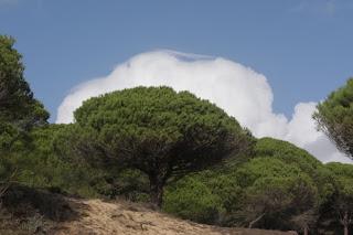pino verde y nube blanca
