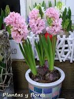 Plantas y flores hyacinthus spp - Jacinto planta cuidados ...