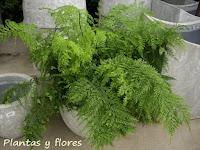 Plantas y flores helechos for Plantas ornamentales helechos