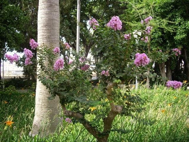 Plantas jardin lagerstroemia indica dise o y for Plantas decoracion de jardines de casas