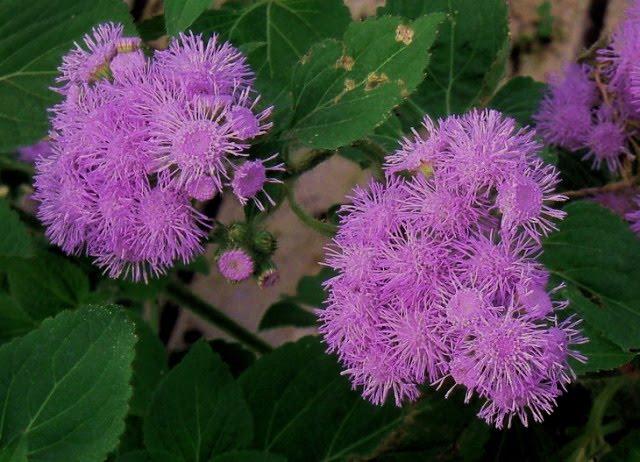 Estudiar jardineria ageratum houstonianum dise o y for Estudiar jardineria