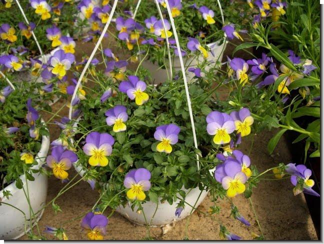 Plantas y flores Cestas colgantes