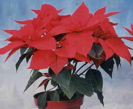 """Estrella Federal"" Euphorbia Pulcherrima"