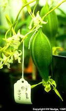 Fruto de orquídea
