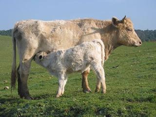 vaca dando de mamar a su ternero