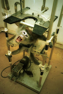 mono atado gritando