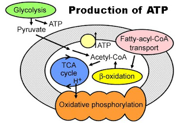 the production and use of atp What is the role of atp in metabolism  it can use the atp to fulfill any of its energy needs  not all glucose metabolism results in the production of that .