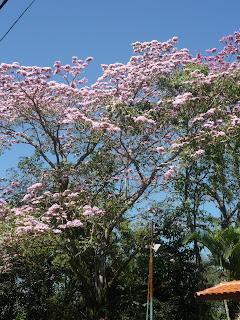 Bela árvore florida no bairro Jardim Martinelli, Penedo