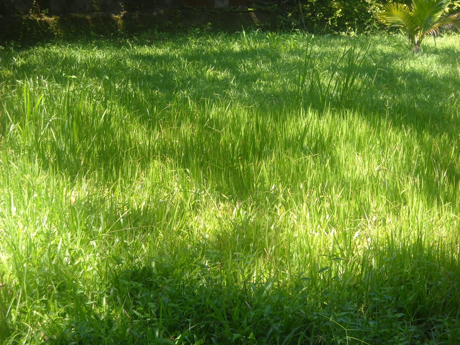 Grama alta - Cortar hierba alta ...