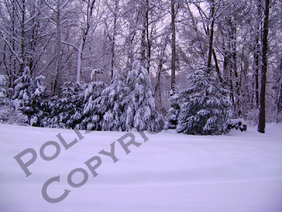 Picture of a row of evergreens covered in snow